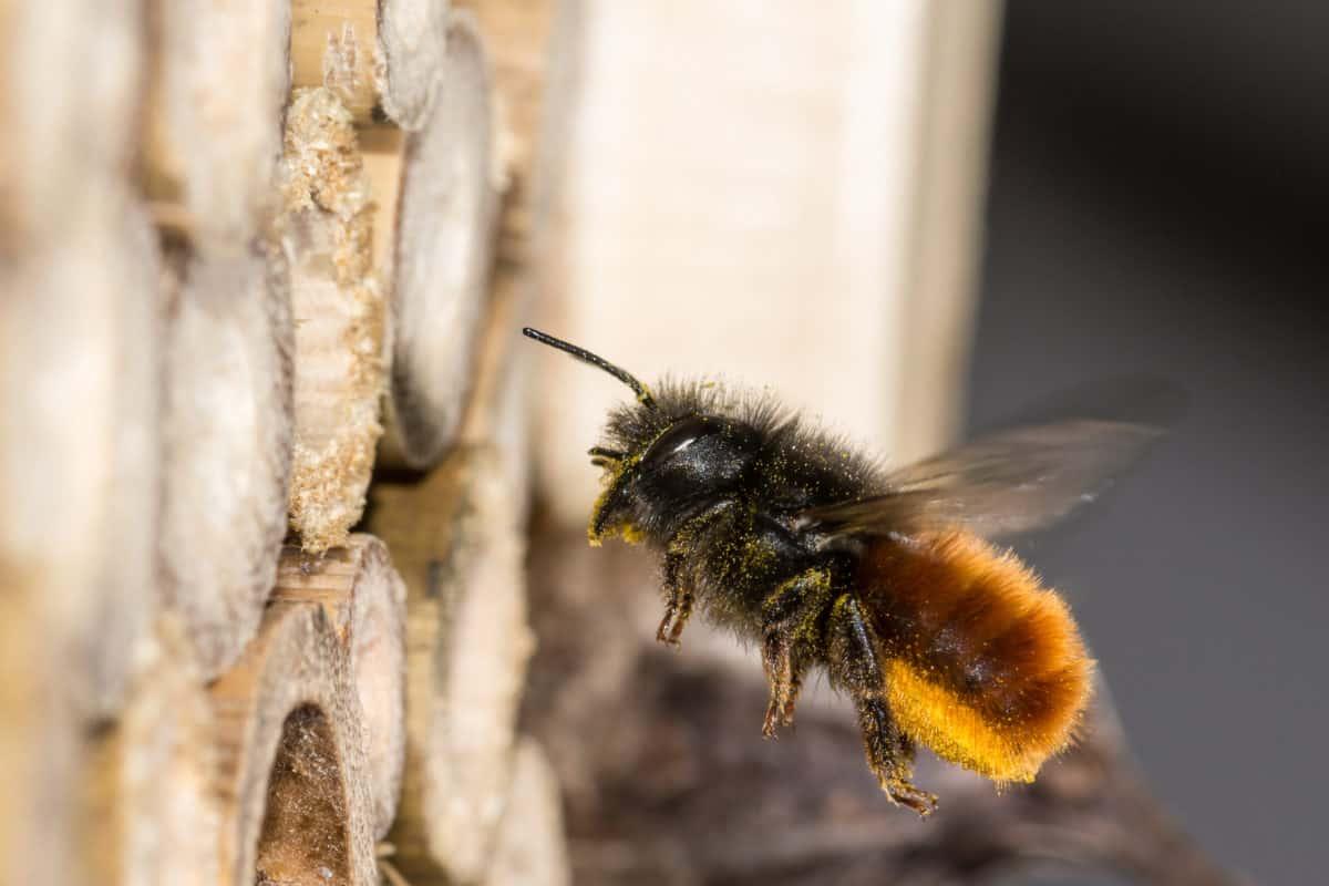 Mauerbiene