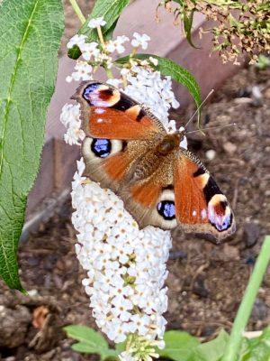 Tagpfauenauge im Insektenland von Wildbienenglück