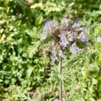 Phazelie Imkerpflanze im Insektenland