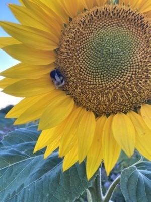 Sonnenblume im Wildbienenglück Insektenland