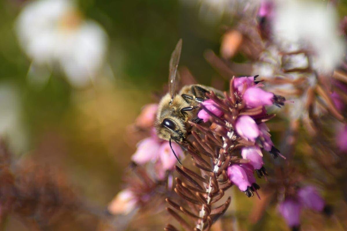 Schnee-Heide Wildbienen