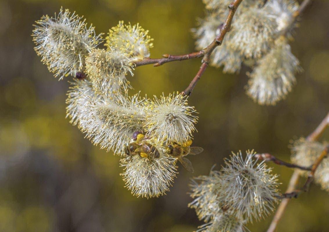 Sal-Weide eine Bienenweide