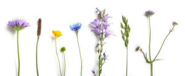 Banner Saatgut Bienenpflanzen
