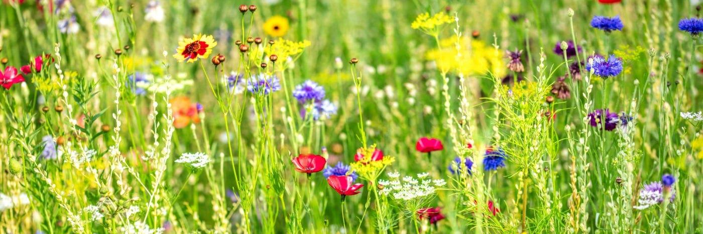 Blumenwiese Saatgut