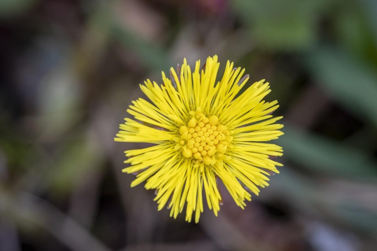 Huflattich Saatgut wildbienenfreundlich
