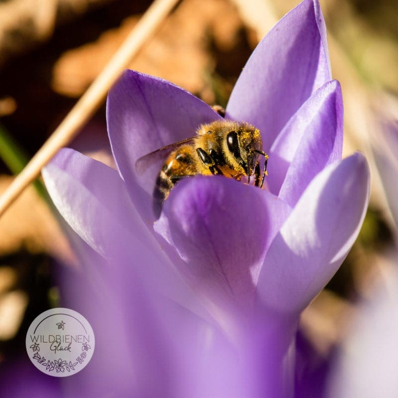 Honigbiene auf Krokus