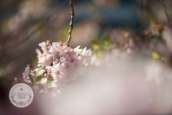 Obstblüte wildbienenfreundlich