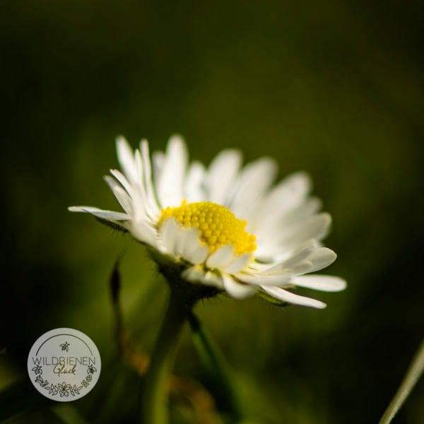 Gänseblümchen, kein Unkraut