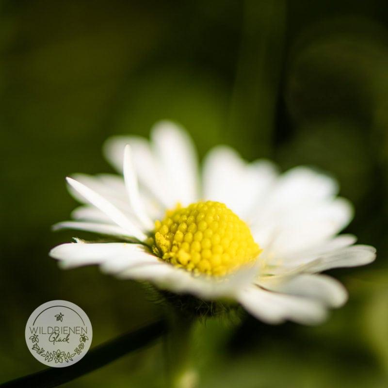 Wildbienenfreundlich Gänseblümchen