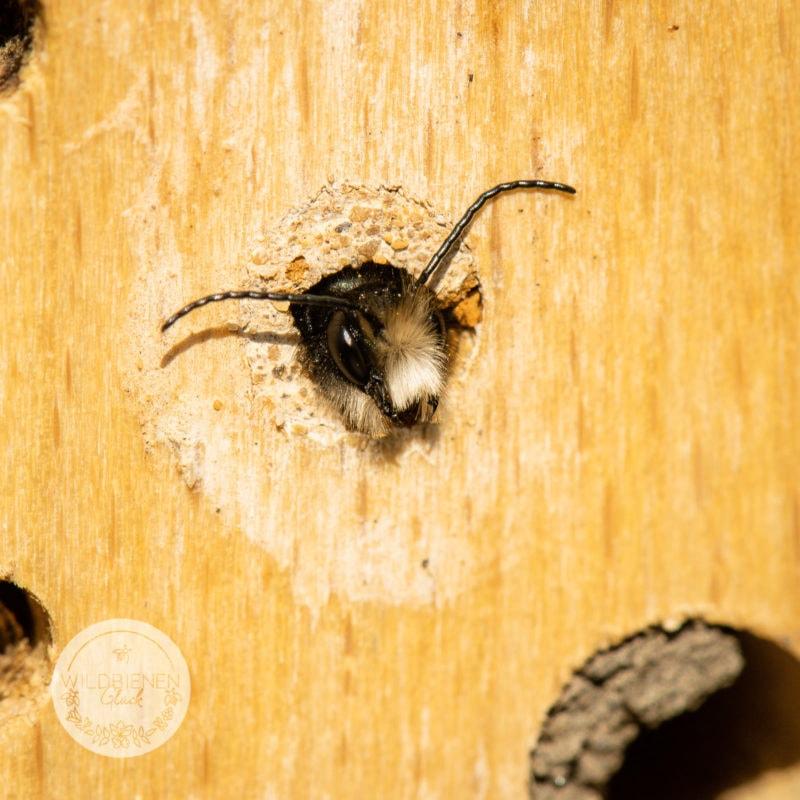 gehörnte Mauerbiene in Nisthilfe, Wildbienenfreundlich