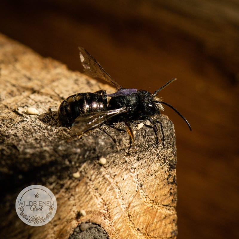 Lichtverschmutzung Wildbienen