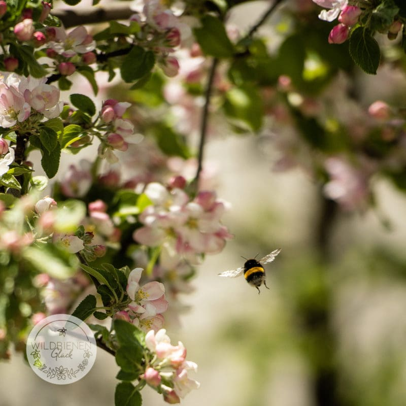 Wildbienen Basics